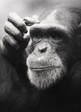 Can chimpanzees understand Sign Language - answers.com