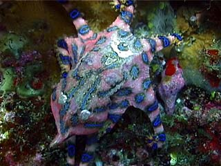 The Blue-Ringed Octopus
