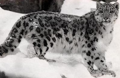 Leo The Snow Leopard Julie Ln Maher Wildlife Conservation Society